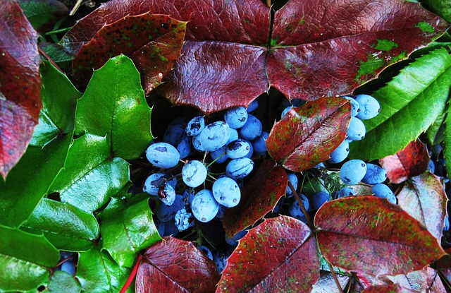 Oregon Grape is psoriasis