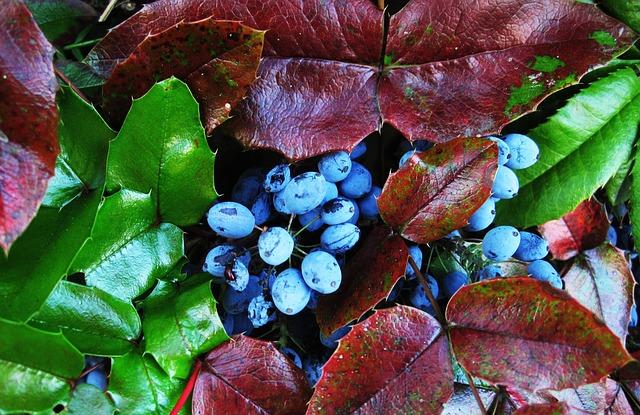 Oregon Grape is psoriasis