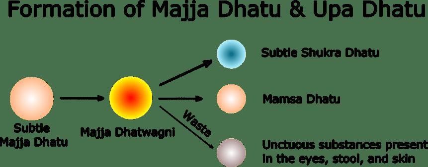 Formation of Majja Dhatu & Upa Dhatu