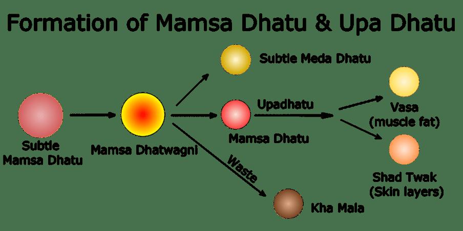Formation of Mamsa Dhatu & Upa Dhatu