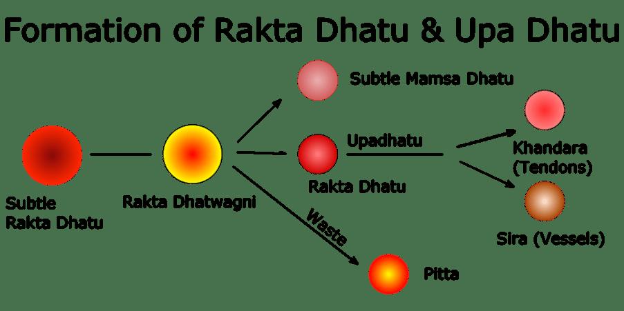Formation of Rakta Dhatu & Upa Dhatu