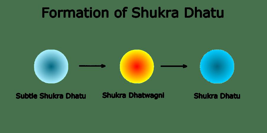Formation of Shukra Dhatu