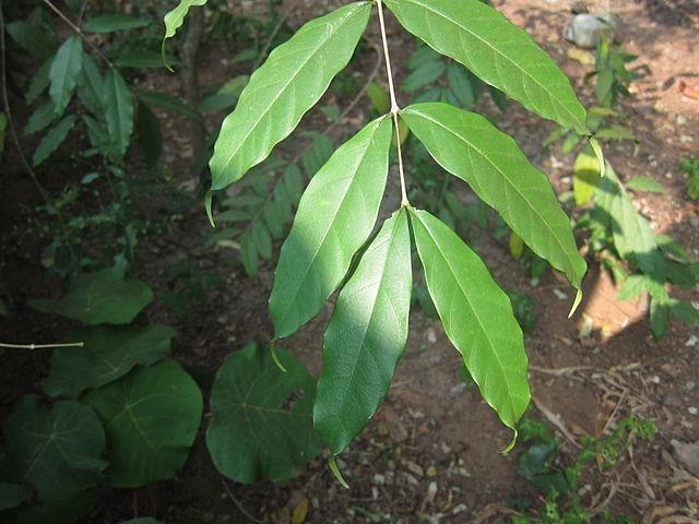 wrightia tinctoria